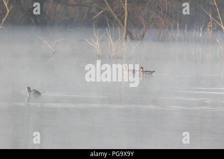 A pair of wood ducks on a foggy morning. - Stock Image