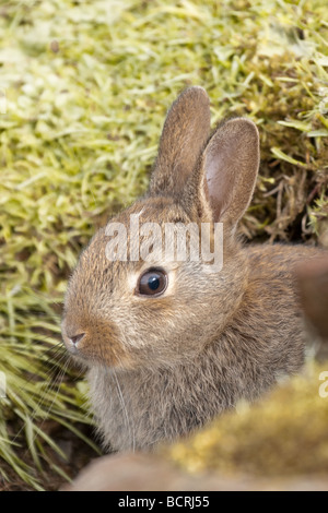 oung rabbit emerging from burrow - Stock Image