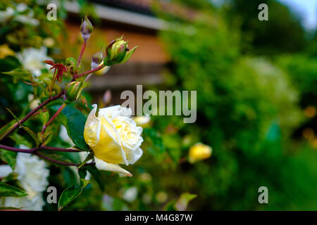 A rich white and yellow rose with buds in an English country garden. Buckinghamshire, England © Jeremy Graham - Stock Image