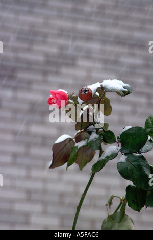A snow covered rose in a snowstorm - Stock Image