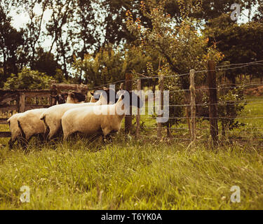 Country sheep - Stock Image