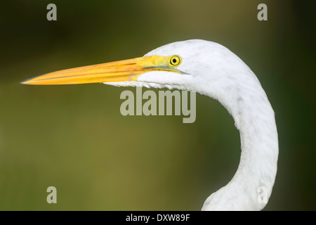 A close-up of a great egret's head and neck. - Stock Image