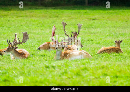Stags with large antlers sitting in the grass. - Stock Image