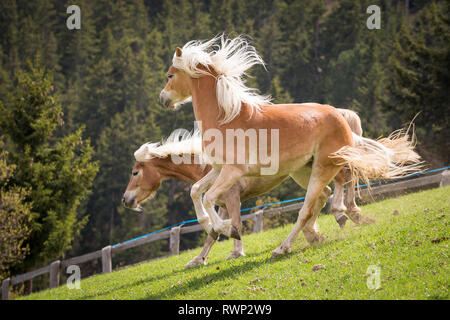 Haflinger Horse. Two adult mares playing on a meadow. South Tyrol, Italy - Stock Image