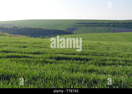 Green wheat fields. Agricultural land. Treated spacious field in the plane. - Stock Image
