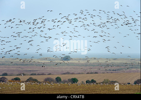 Flock of pink-footed geese (Anser brachyrhynchus) landing in sugar beet field. Norfolk. November. - Stock Image