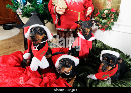 miniture pinschers, with Christmas greetings and santas - Stock Image