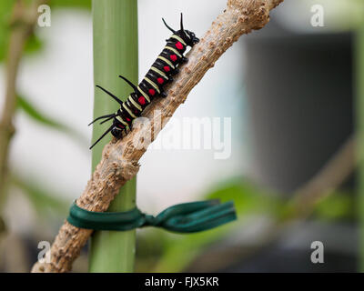 Caterpillar On Branch Outdoors - Stock Image