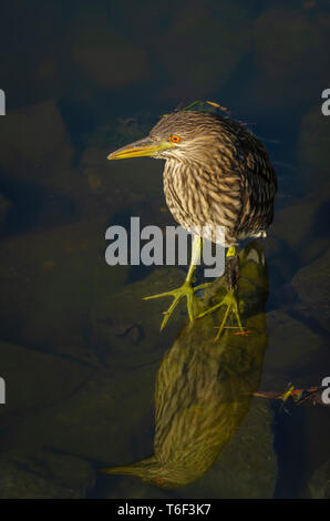 Immature Black- crowned night heron (Nycticorax nycticorax) near shore of pond, Aurora Colorado US. Photo taken in July. - Stock Image