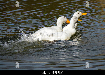 Two males trying to mate with and chasing a female Pekin Duck (also know as American Pekin, Long Island or Aylesbury duck) - Stock Image