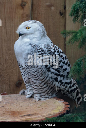Female Snowy Owl (Bubo scandiacus), UK - Stock Image