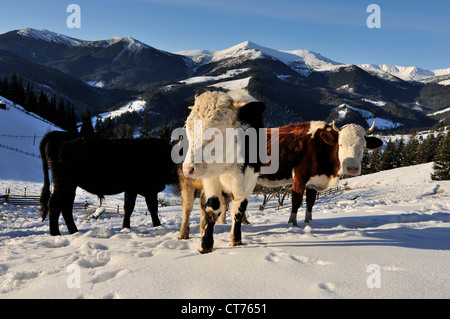 cattle in Dzembronya winter landscape in Ukraine Carpathian Mountains - Stock Image