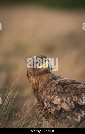 Steppe eagle, Aquila nipalensis, late autumn on dry grassland - Stock Image