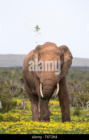 African elephant (Loxodonta africana) in springflowers, Addo elephant national park, Eastern Cape, South Africa, September 2018 - Stock Image