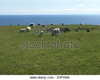 Sheep on the Isle of Arran, scotland - Stock Image