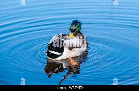 Colourful male Mallard duck, Anas platyrhynchos, preening feathers in water ripple in sunshine - Stock Image