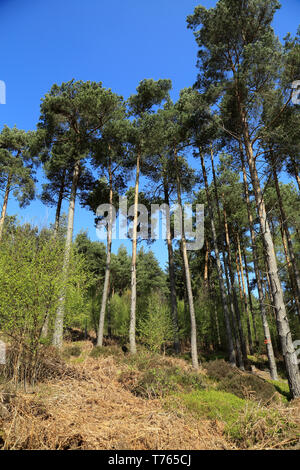 Trees in clearing in Boltby Forest near Sneck Yate Bank, Boltby, Thirsk, North Yorkshire - Stock Image