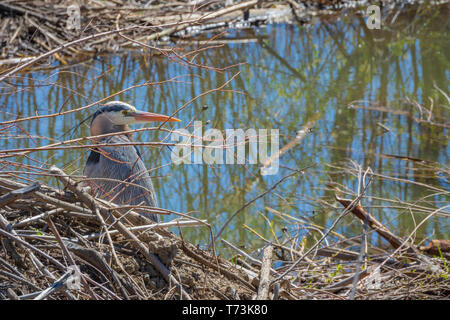 Black-crowned night heron (Nycticorax nycticorax) resting on North American Beaver lodge, Castle Rock Colorado US. Photo taken in May. - Stock Image