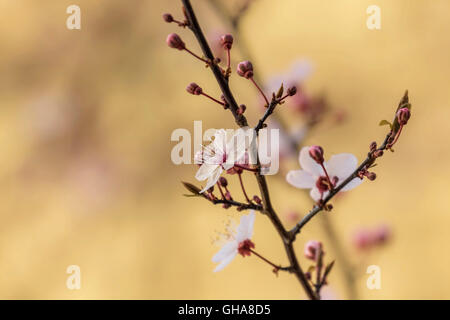 botany, cherry (prunus serrulata), blossoms at a branch, Braunschweig, Lower Saxony, Germany, Additional-Rights - Stock Image