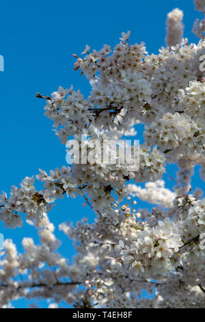 Spring blossom of Japanese white sakura tree, floral background with blue sky - Stock Image