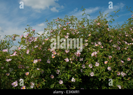 Dog-Rose (Rosa canina) flowering in the British Countryside in summer - Stock Image