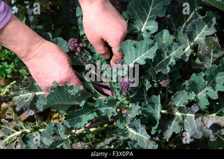 Brassica oleracea 'Purple Sprouting' Broccoli using a knife to harvest mature curds - Stock Image