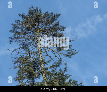 Coniferous tree canopy against blue springtime sky. - Stock Image