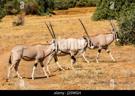 Three wild East African Oryx, Oryx, beisa, walking in the Buffalo Springs Game Reserve, Kenya, East Africa - Stock Image