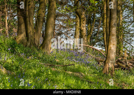 Flowering English bluebells in a North Yorkshire wood in dappled sunlight and a blue sky background - Stock Image