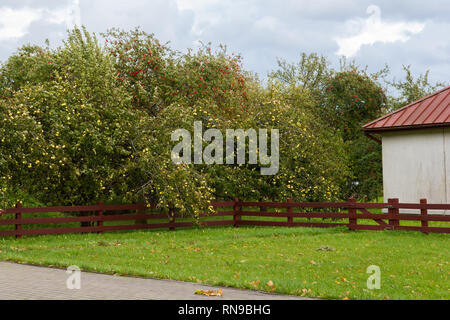 Ripe Apples in Orchard ready for harvesting - Stock Image