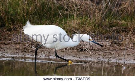 Snowy Egret, Egretta thula, hunting in shallow pond in Arizona USA - Stock Image