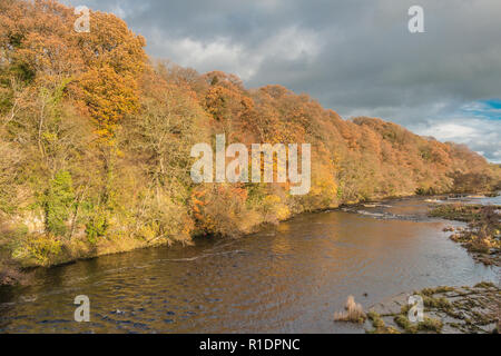 Late autumn colours in afternoon sunshine on the wooded riverbank of the river Tees at Whorlton, Teesdale - Stock Image