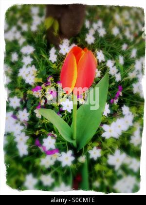 Pretty tulip in graduated tones of deep pink, orange and yellow among a field of green grass, purple pansies and - Stock Image