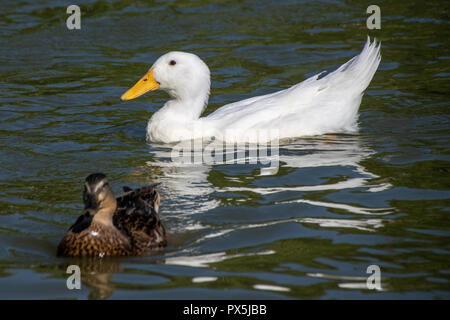 Feeding bread and duck feed pellets to a flock of wild mallards and white heavy Long Island American Pekin Ducks on a park lake - Stock Image