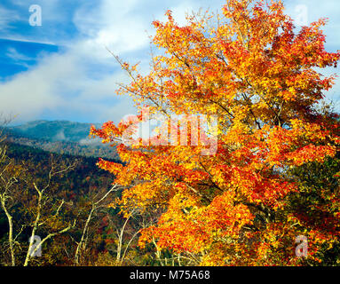 Maple and Mount Mirchell, Mount  Mitchell State Park, North Carolina   Blue Ridge Parkway, Highest point E. of Mississippi - Stock Image