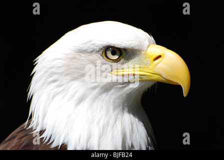 An American Bald Eagle - Stock Image