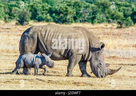 Adult White Rhinoceros, Ceratotherium simum, with small calf, Ol Pejeta Conservancy, Kenya, East Africa - Stock Image