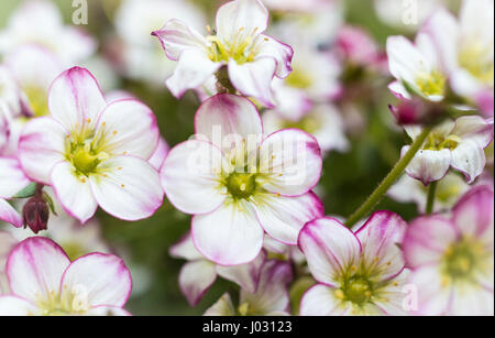 Macro close up of the flowers and blooms of Saxifraga bedding plant with white petals with a pink edging - Stock Image