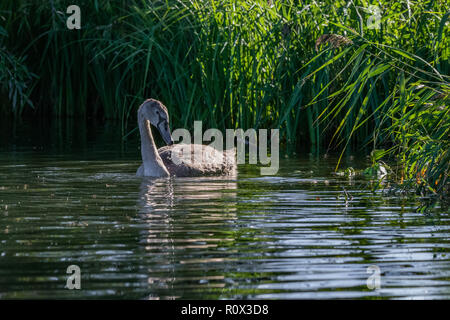 Juvenile mute cygnet swan searching for food in low setting autumn sunlight - Stock Image
