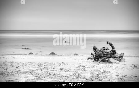 Broken trunk with rest of roots sticking from sand by the sea. The tree stump with roots in water on empty shore, clear yellow sand. Natural backgroun - Stock Image