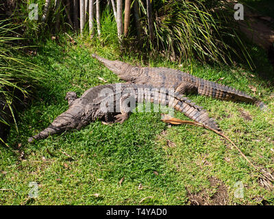 Two Saltwater Crocodiles Resting - Stock Image