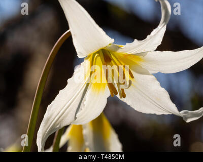Yellow shading to white flower of the hardy spring woodland bulb, Erythronium 'Jeanette Brickell' - Stock Image