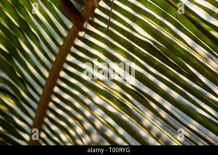 Striped of green palm leaf close-up texture - Stock Image