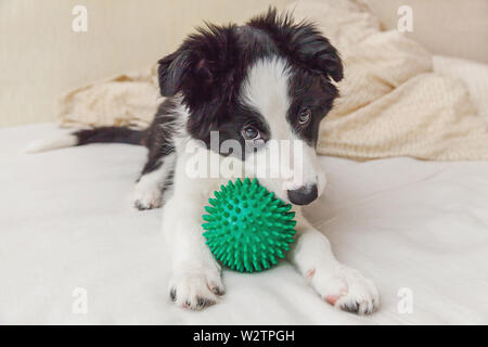 Funny portrait of cute puppy dog border collie lay on pillow blanket in bed and playing with green toy ball. New lovely member of family little dog at - Stock Image