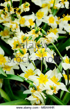 Tulipa sylvestris, wild tulip or woodland tulip, is native to Eurasia and North Africa. - Stock Image