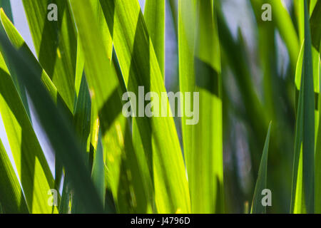 Reeds by the lake, Osterley Park, Isleworth, Middlesex, England<a href='https://prime.500px.com/photos/125914269'>License - Stock Image
