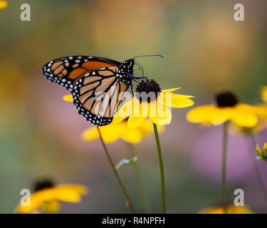 Colorful monarch butterfly (Danaus plexippus) feeding on yellow cone flowers in the garden in Speculator, New York, NY USA - Stock Image