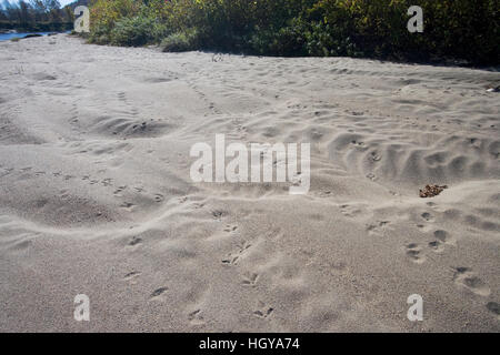 Animal tracks on a sandy bank of the Connecticut River in Maidstone, Vermont. - Stock Image