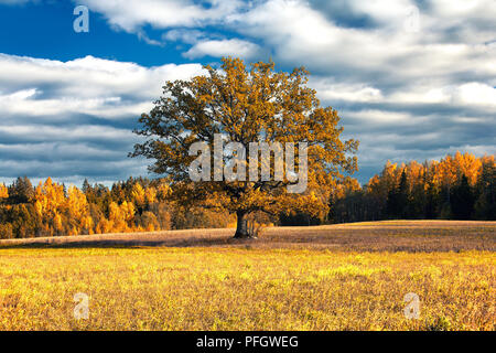 Oak golden autumn in the field in a forest - Stock Image