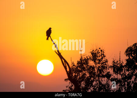 The silhouette of an eagle perched on a tree branch - Stock Image